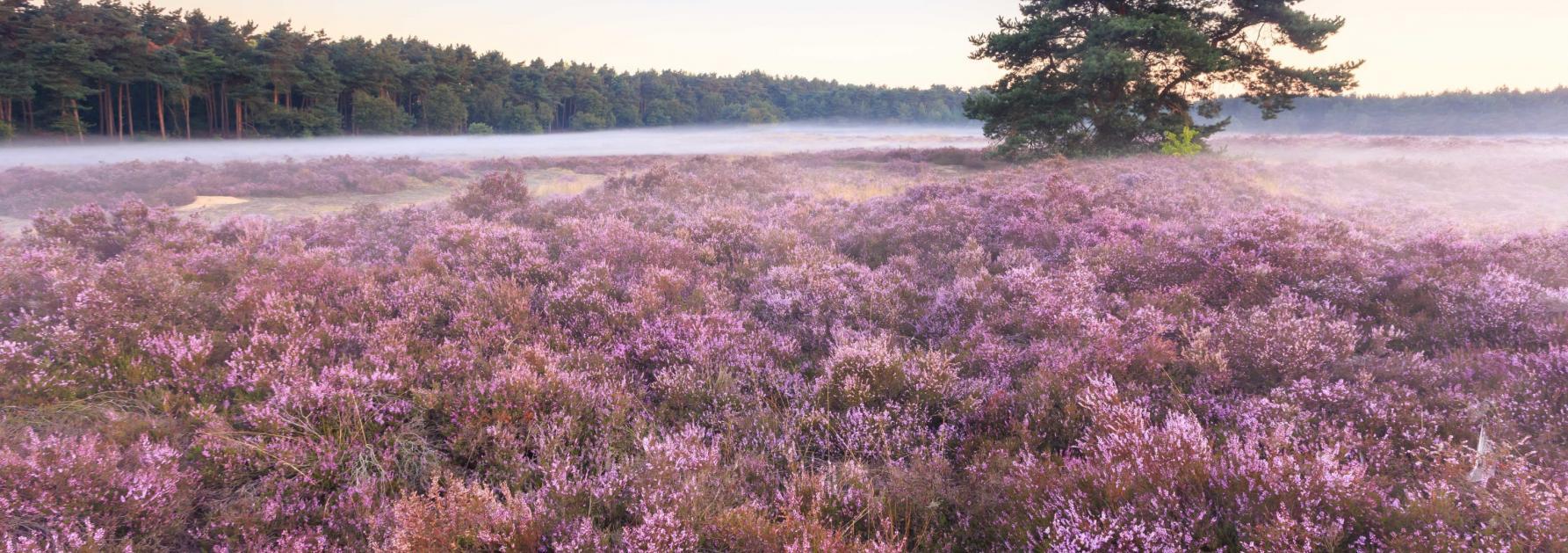 Landschap met paarse heide